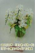 画像3: 胡蝶蘭 アマビリス(ミディ系)5本立ち以上 55cm前後 (3)