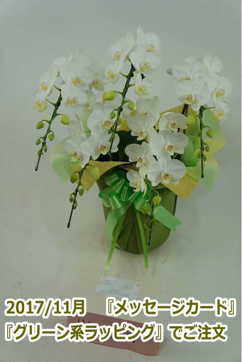 画像3: 胡蝶蘭 アマビリス(ミディ系)5本立ち以上 55cm前後